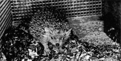 Fig. 1: The lesser (pigmy) hedgehog tenrec in its cage.